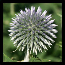 Nagold, Distel / Thistle